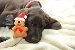 Dreaming of a dog's Christmas Royalty Free Stock Image