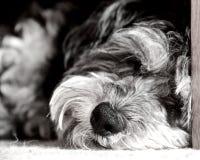 Sleeping Dog  Stock Images