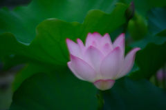 Dreaming feel lotus flower sheltered in lotus leave Stock Photo