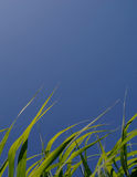 Dreaming about a fresh start. Low angle view through green grass on clear blue sky Stock Photography
