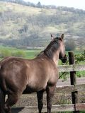 Dreaming of greener pastures. A horse gazes over a fence and off at the distant hillside Royalty Free Stock Photos