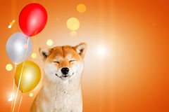Dreaming happy akita inu dog with balloons sitting on orange background with sparkles Stock Photos