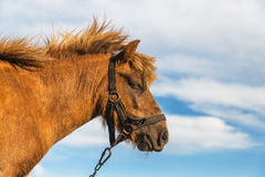 Dreaming horse Stock Photography