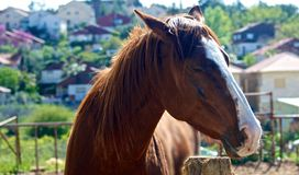 Dreaming Horse. A dreaming brown horse on the towny background Stock Photo