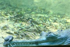 Dreaming Indian Gavial (Under Water Scene) Stock Photo