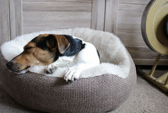 DREAMING JACK RUSSELL TERRIER. After each workout , you''ll  need a rest. Best in your own bed Royalty Free Stock Photo