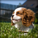 Dreaming King charles spaniel puppy. Dreaming King Charles Cavalier Spaniel puppy on the grass Royalty Free Stock Images