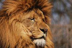 Dreaming lion Royalty Free Stock Photography