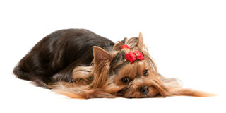 Dreaming lying yorkshire terrier Stock Images
