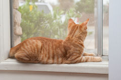 Dreaming of the outside world. Furry Tabby kitten looking out the window Stock Photos