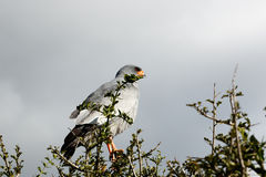 Dreaming - Pale Chanting Goshawk - Melierax Canorus stock photography
