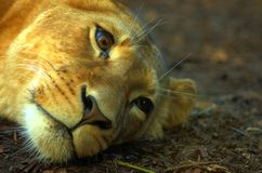Dreaming of somewhere else. A lioness with a dreamy look royalty free stock photos