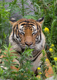 Dreaming tiger Royalty Free Stock Photo