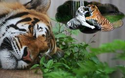 Dreaming tiger. Tiger dreaming about playing with his friend Royalty Free Stock Photos