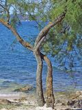 Dreaming tree. A dreaming tree at Croatia resort's coast line in midday stock image