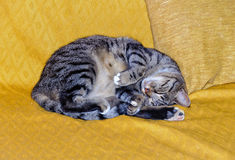 Dreaming - Uopini. Pussycat enjoying a sweet dream on the sofa royalty free stock photo