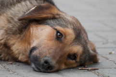 Dreaming vagabond dog resting looking to the right Stock Images