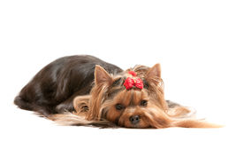 Dreaming yorkshire terrier Royalty Free Stock Image
