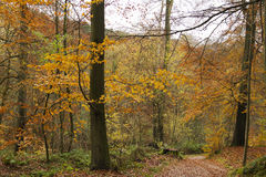 Dreamlike autumnal woodland. Dreamlike autumn colored deciduous woodland with  beech trees and colorful autumn leaves Stock Photos