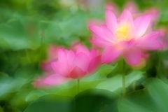 Dreamlike lotus Royalty Free Stock Images