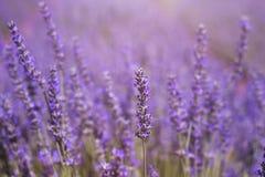 Dreamlike purple lavender field. In full springtime blossom Stock Photography