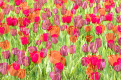 Dreamlike tulip Royalty Free Stock Image
