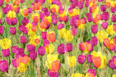 Dreamlike tulip Royalty Free Stock Images