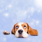 Dreams. The dog dreams of Christmas gifts stock photo