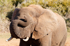 Dreams - African Bush Elephant Stock Photo