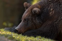 Dreams: Artistic Picture Of Big European Brown Bear Close-Up. Photo Of Great Bear Ursidae, Ursus Arctos With Expressive Sad Ey stock images