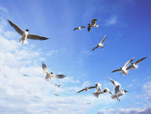 Dreams of freedom. Black-headed seagulls fly in the sunny blue sky with some light cirrus clouds Royalty Free Stock Photo