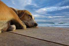 Dreams about the sea. Sleeping dog on the pier on the ocean background Royalty Free Stock Photo