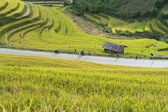 Dreamstime Photos Editorial Illustrations Videos Audio Free Photos My Account Vinhdav Prices and download plans      Sign out Ho. Asian rice field in harvesting Stock Images