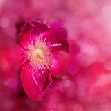 Dreamy, abstract image of a red rose Stock Photos