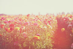Dreamy abstract photo of wild flower field and bright bokeh lights. cross proccess effect Royalty Free Stock Image