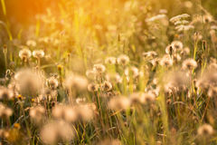 Dreamy atmosphere of romantic summer meadow Royalty Free Stock Photo