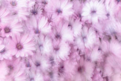 Dreamy background of flowers. Dreamy background of pink daisy flowers, flowery field, natural abstract freshness, spring garden, slow motion photography effect Royalty Free Stock Images