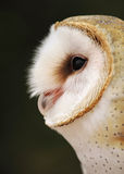 Dreamy Barn Owl Portrait Royalty Free Stock Images
