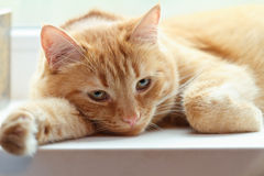 Dreamy cat. Red cat dreaming on a windowsill Royalty Free Stock Photos
