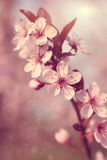Dreamy cherry tree flower Royalty Free Stock Images