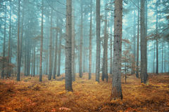 Dreamy conifer forest Royalty Free Stock Images