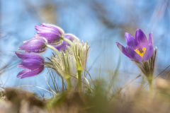 Dreamy crocuses. In the meadow Stock Photo