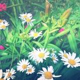 Dreamy daisy flowers Stock Photography