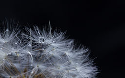 Dreamy dandelion macro. Abstract macro photo of plant seeds with water drops Stock Image