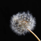 Dreamy dandelion macro. Abstract macro photo of plant seeds with water drops Royalty Free Stock Photos