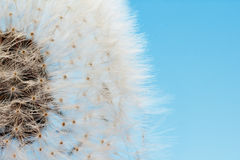 Dreamy dandelion macro Royalty Free Stock Photos