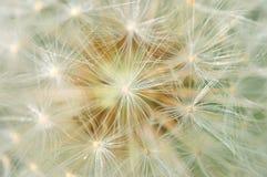 Dreamy dandelion macro Stock Images