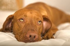 Dreamy dog Stock Photography