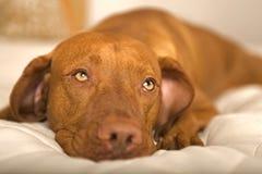 Dreamy dog Stock Photography