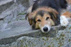 Dreamy dog Royalty Free Stock Image